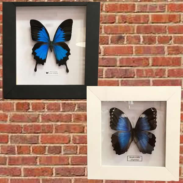 cuadritos de mariposas disecadas