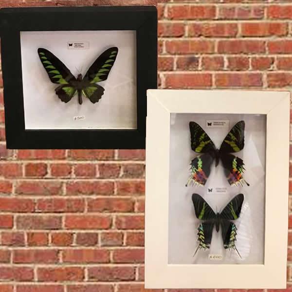 cuadritos con mariposas disecadas